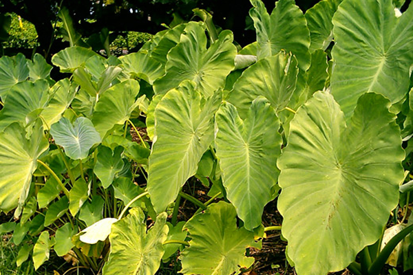 Taro plants in Waipā Valley, Kauaʻi. (Photo courtesy of The Waipā Foundation),