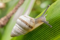 Endangered Hawaiian tree snail, Achatinella concavospira.  (Photo credit: David Sischo).