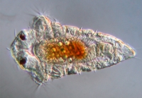 Larva of Hydroides elegans, a marine tubeworm.  (Photo credit:  Michael Hadfield).