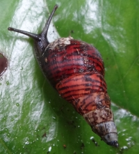 One of the last remaining amastrid land snail species (Laminella sanguinea), in the Wai'anae Mountains of O'ahu.